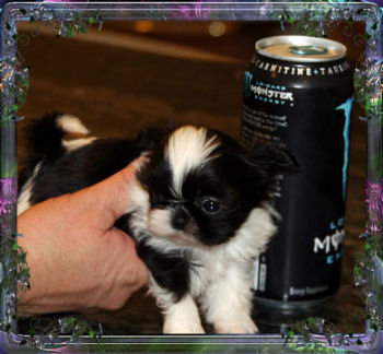 Kizzy tiny female chinese imperial dog, imperial shih tzu puppy, teacup 13 ounces - 10 weeks old
