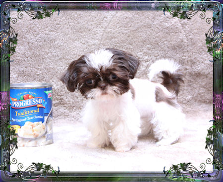 Jasmine is a tiny little Imperial Sih Tzu girl that is about 2.5 pounds as an adult and is just an awesome example of the Chinese Imperial Shih Tzu breed