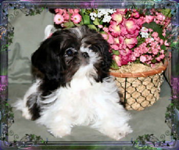 Tiny Chinese Imperial Dog, Imperial Shih Tzu,Nevada Breeder, specializing in little, tiny, imperials with AKC champion pedigree, Imperial Stud/Logan is the father of many of our puppies