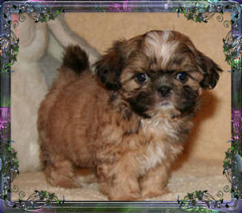 Tiny Little, Chinese Imperial Shih Tzu, puppies for sale, Female/Sally
